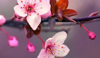 Tokyo'nun kiraz çiçeklerinin 20 Mart'ta açmaya başlaması bekleniyor