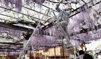 Japonya Fotoğraf Günlüğü: Ağlayan Mor Salkımlar